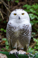 Snow Owl Stock by LuDa-Stock