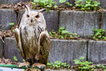 Eagle Owl Stock