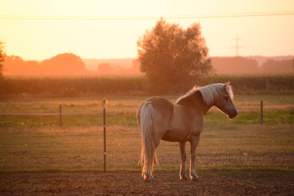 Summerlight Haflinger Horse Stock by LuDa-Stock