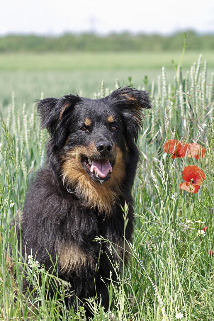Old German Herding Dog by LuDa-Stock on DeviantArt