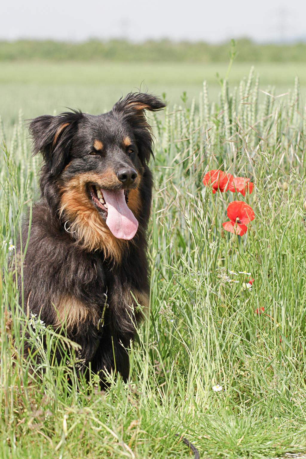 german herding dog by luda stock watch resources stock images stock ...