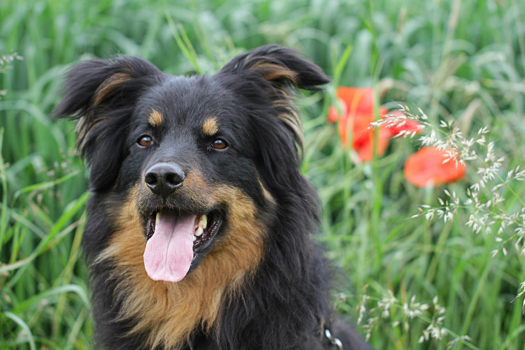 All Herding Breed Dog Rescue Sparrow
