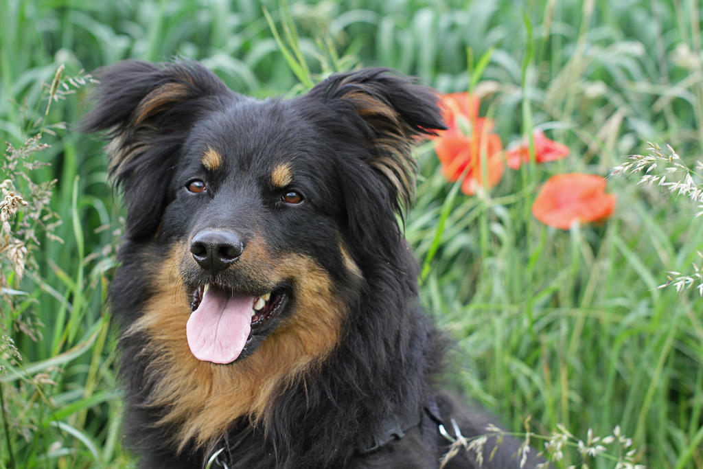Herding Dog Breeds Stockdog Breeds | Dog Breeds Picture