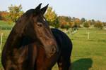 Black Horse Portrait Evening Light