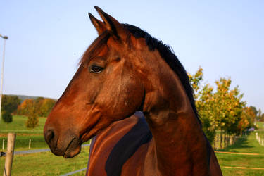 Bay Horse Portrait Evening Light