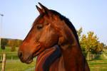 Bay Horse Portrait Evening Light