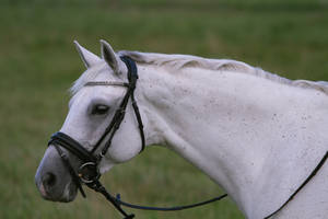 Beautiful Warmblood Mare Portrait Stock by LuDa-Stock