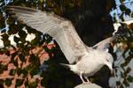 Seagull Landing - Stock