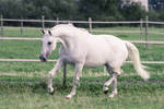 Grey Warmblood Mare Graceful Bow Trot