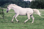 Warmblood Mare Cantering Pasture Stock
