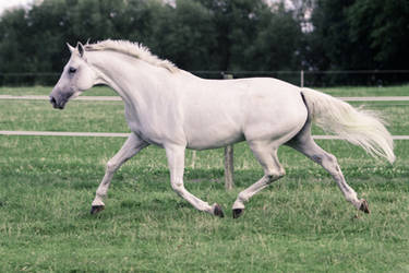 Pegasus Pose - White Warmblood Mare on Pasture