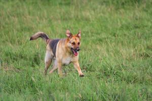 Sheperd Dog Mix Stock II by LuDa-Stock