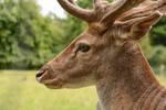 Fallow Deer Stock - Proud Buck in Profile