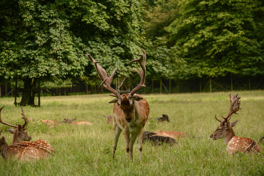 Fallow Deer Stock - Proud Buck Trying to Impress