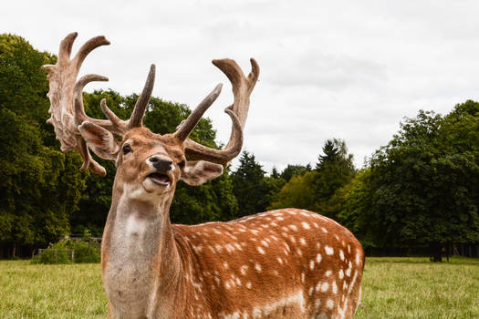 Fallow Deer Stock - Proud Stag greeting the World