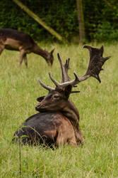 Deer Stock - Dark Stag looking over Shoulder