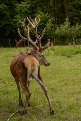 Red Deer Stag - With velvet skin falling off