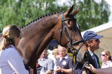 Irish Sport Horse Mighty Nice by LuDa-Stock