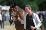 Bay Irish Sport Horse Head Portrait