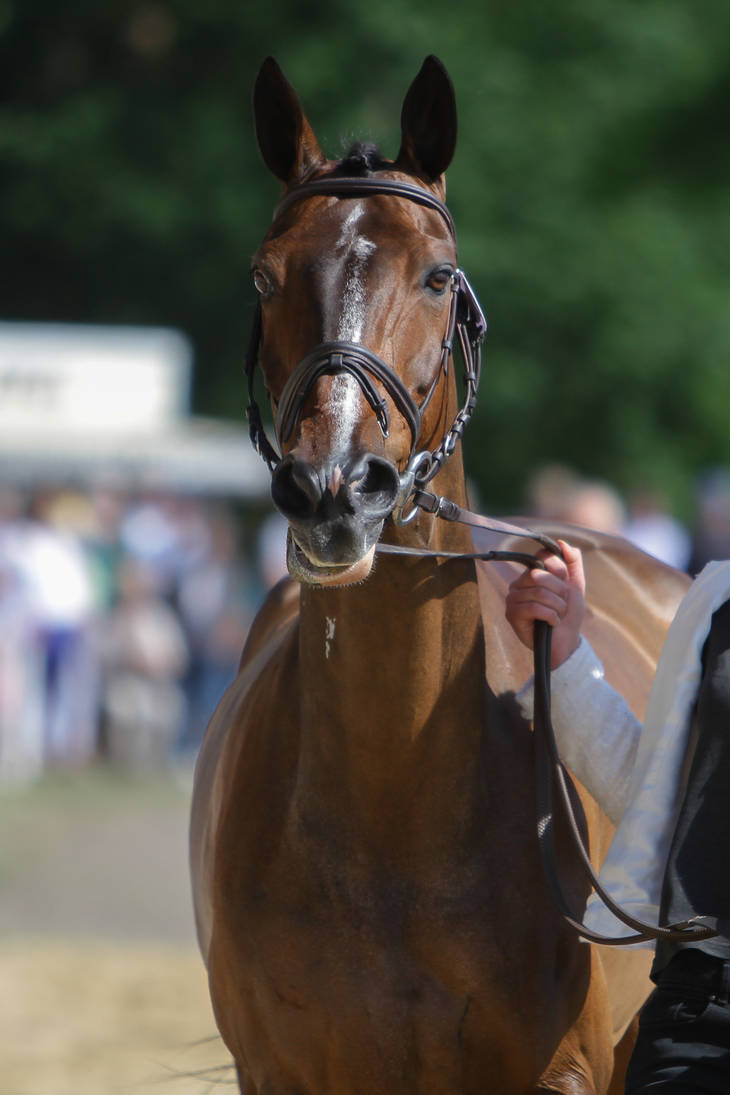 Bay Irish Sport Horse Cute Face Expression by LuDa-Stock