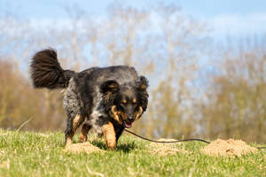 Old German Herding Dog Searching Toy by LuDa-Stock