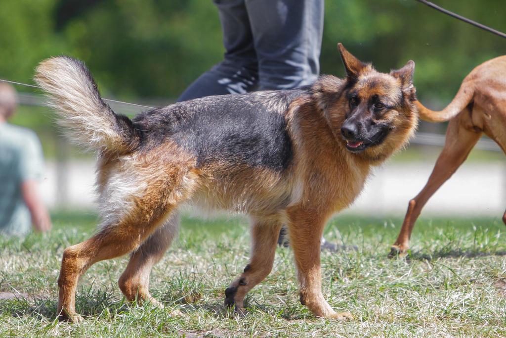 German Sheperd turned Head Walking by LuDa-Stock