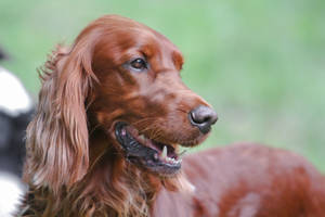 Irish Setter Head Portrait by LuDa-Stock