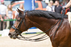 Bay Dressage Horse Portrait Closeup with Curb by LuDa-Stock