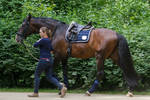 Groom leading Lusitano after Training