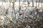 Frosted Winter Berries