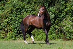 Heavy Warmblood Mare Standing Paddock