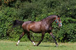 Heavy Warmblood Mare Trotting on Pasture