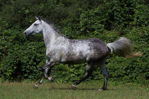 Beautiful Dappled Grey Mare on Paddock 42