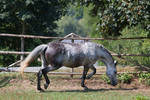 Beautiful Dappled Grey Mare on Paddock 33