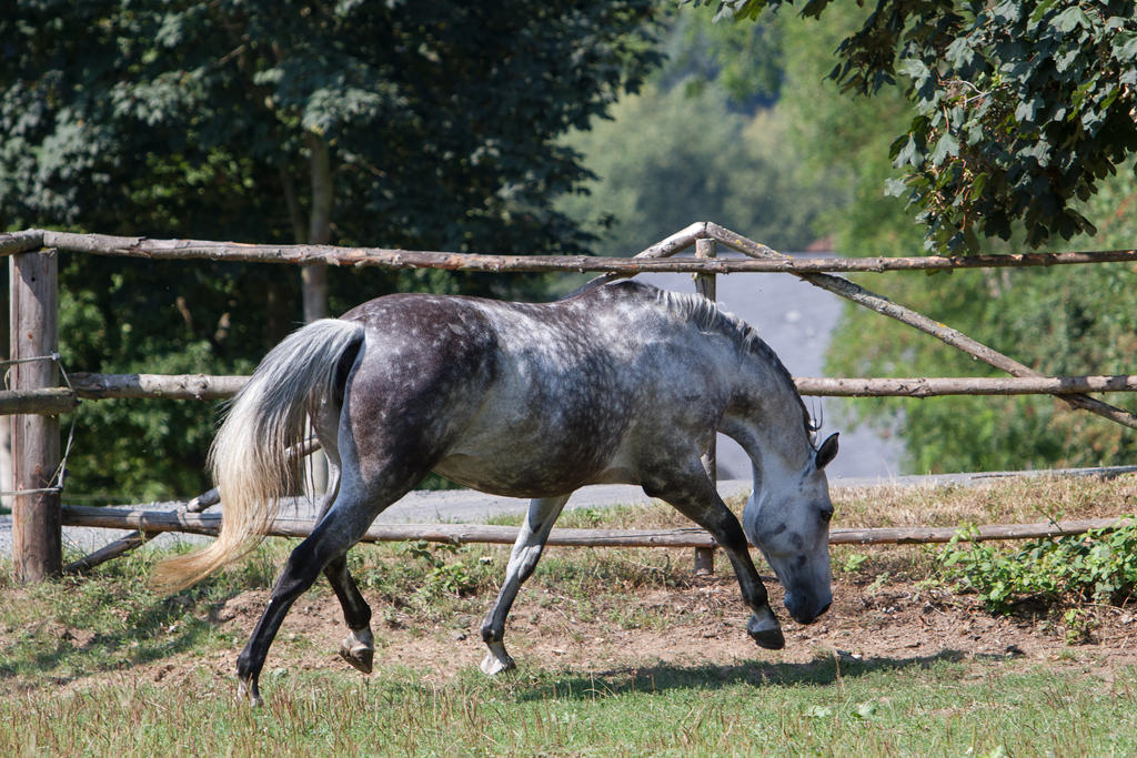 Beautiful Dappled Grey Mare on Paddock 32 by LuDa-Stock