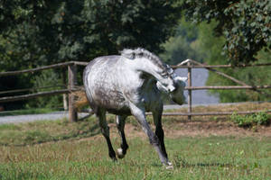 Beautiful Dappled Grey Mare on Paddock 47