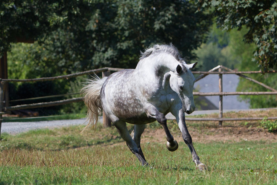 Beautiful Dappled Grey Mare on Paddock 48