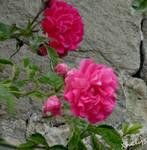 Pink flowers by Xhelys-Chernota