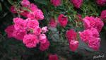 Pink flowers (2) by Xhelys-Chernota