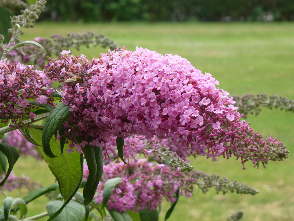 Pink lilac in front of our balcony by aewendil on deviantart for On our balcony