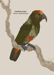 Chatham Kaka, Nestor chathamensis