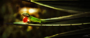 The Call of the Anole