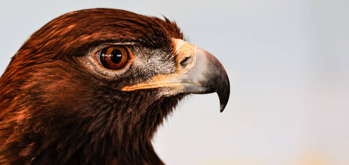 Golden Eagle With Room Reflecting