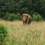 Asian Elephant ID