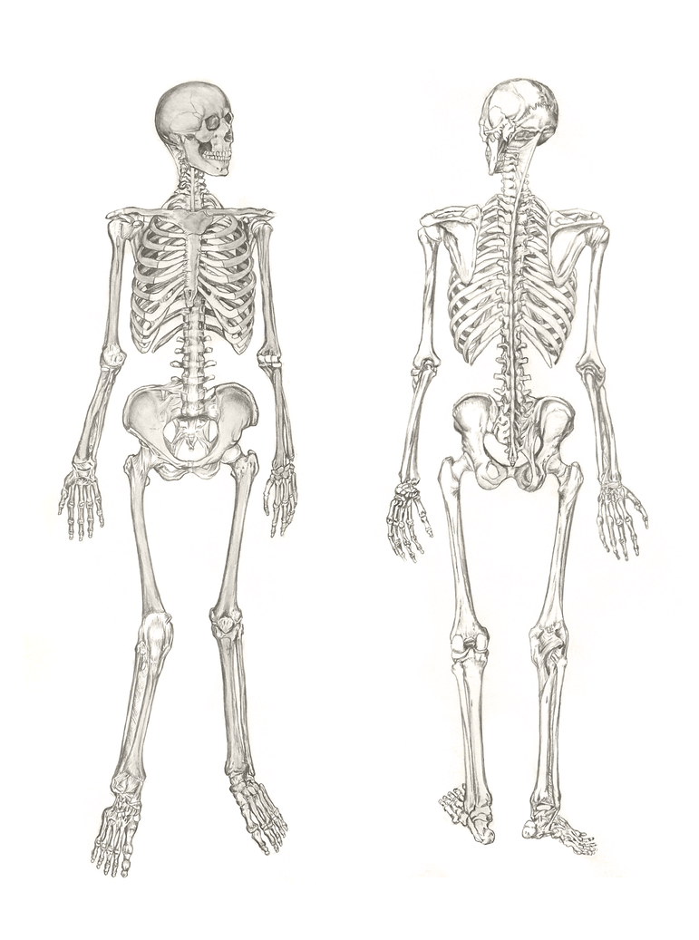 muscle diagram project skeleton study by hextupleyoodot on deviantart  skeleton study by hextupleyoodot on deviantart