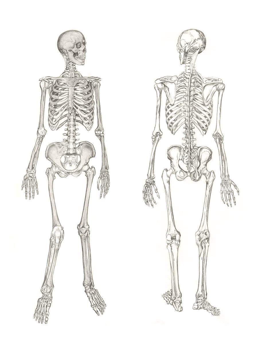 Skeleton Study by hextupleyoodot on DeviantArt