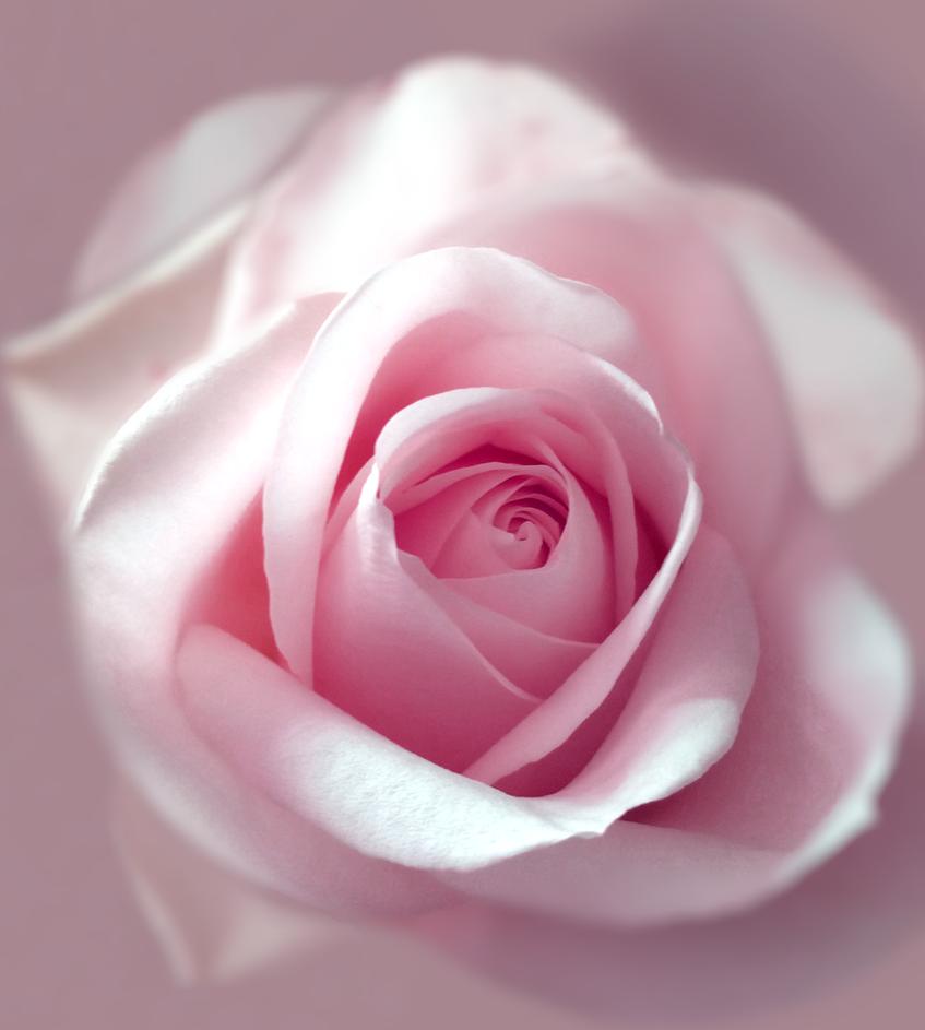 Rose by GeorgeXVII