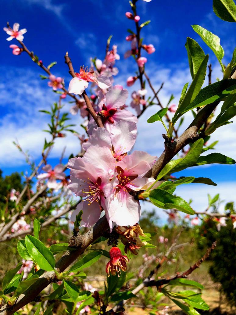 Almond flowers by GeorgeXVII