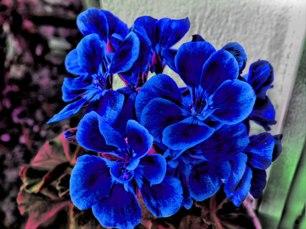 Blue flowers hdr by dcalq3dneopl on deviantart blue flowers hdr by dcalq3dneopl izmirmasajfo