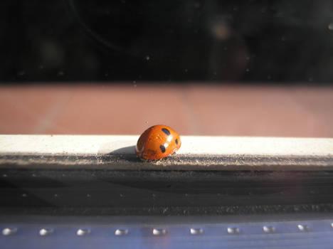 miss ladybug